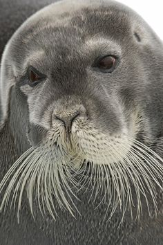 Bearded Seal by Paul Marshall