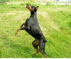 Doberman Jumping for Joy | Flickr - Photo Sharing!
