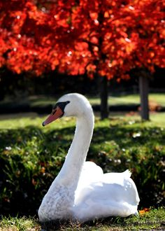 Trumpeter Swan -looks regal, sure to mess up your day if you do more than look.