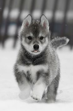 """Fantastic """"Siberian husky puppies"""" info is available on our website. Cute Husky Puppies, Husky Puppy, Huskies Puppies, Pomeranian Puppy, Lab Puppies, Cute Funny Animals, Cute Baby Animals, Baby Siberian Husky, Siberian Huskies"""