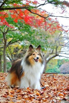 Sheltie amazed with Fall colors