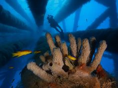 Tube Sponges, Gulf of Mexico. Photo by David Doubilet, National Geographic
