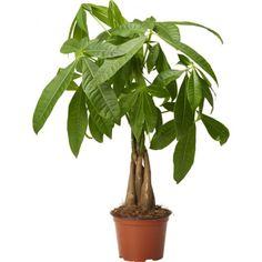 Kastanjasutipuu