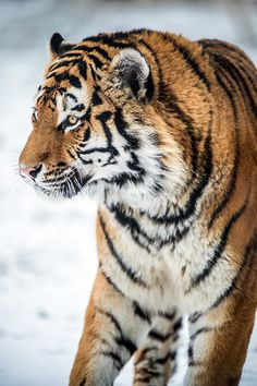 Tiger,Yorkshire Wildlife Park 19/01/13 (by Dave learns his Dig...