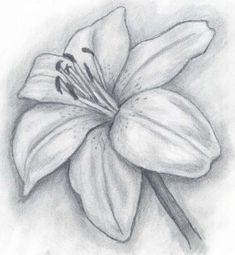 Browse Lily+pencil+drawing pictures, photos, images, GIFs, and videos on Photobucket Pencil Drawing Pictures, Pencil Drawings Of Flowers, Pencil Drawing Tutorials, Flower Sketches, Art Drawings Sketches Simple, Pencil Art Drawings, Pictures To Draw, Drawing Flowers, Flower Sketch Pencil