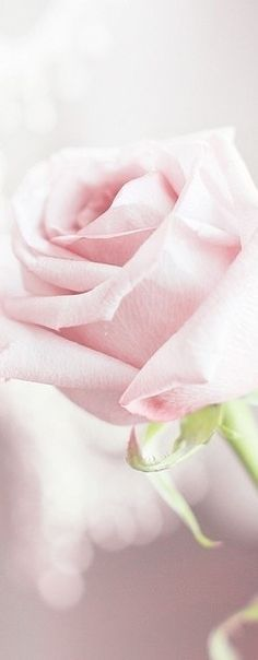 Pink Rose | House of Beccaria#