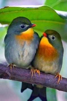Pekin Robins by / beautiful birds Kinds Of Birds, All Birds, Little Birds, Love Birds, Pretty Birds, Beautiful Birds, Animals Beautiful, Exotic Birds, Colorful Birds