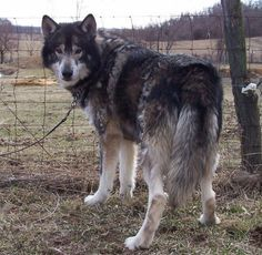Hybrid Wolfdog Hybrid, Wolf Dogs, Wolves, Sheep, Husky, Puppies, Pets, Animals, Wolf Hybrid Dogs
