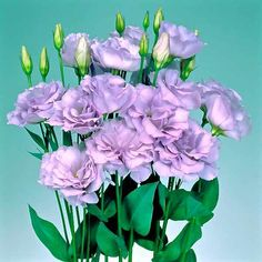 Echo Lavender lisianthus - Cut Flowers - Annual Flower Seeds