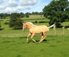 Quality Palomino Gelding for sale | HorseDeals.co.uk