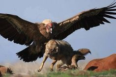 Griffon vulture chasing a coyote