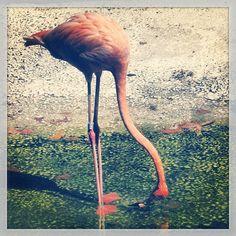 #flamingo #fenicottero #barcelona #bcn #zoo #zoobarcelona #picoftheday #fotodesomni #animals #barcelonagram #fun #summer #estate #verano #ete #vacances #vacaciones #holidays #vacanze #spanish #spain #espagne #espana #jazz #barcelona3 #maximocherry
