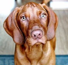Juliet the Vizsla, Can you tell this is one of my FAVORITE PUPPIES?????!!!!
