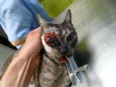 "This little cat was the victim of cruelty. He is still receiving treatment at the clinic vet. He was operated. I invite you to sign the petition on line. We need your signature to help us do justice to this cat enforcing animal protection laws. Too many animals are abused, tortured with impunity. Should things change. Thank you for your help.""    http://www.avaaz.org/fr/petition/Faire_appliquer_la_Loi_contre_les_actes_de_cruaute_envers_les_animaux_en_NouvelleCaledonie/?cOYnQab"