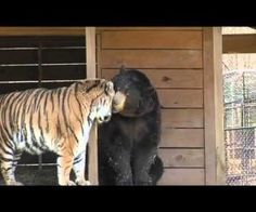 Lion, Tiger, Bear, Oh My! Lion, tiger and bear all live together at Noah's Ark Sanctuary in Locust Grove, Georgia.