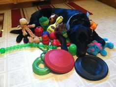 We have found another KONG addict!  HAHAHA Not Kayla, but might as well be!