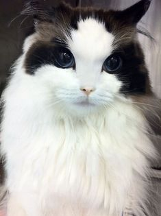 Cat prettier than most humans.  It has round eyes instead of the usual almond shaped.