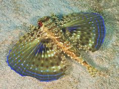 Photographic Print: Flying Gurnard On Sand in Carribean Sea Poster by Stocktrek Images : 24x18in