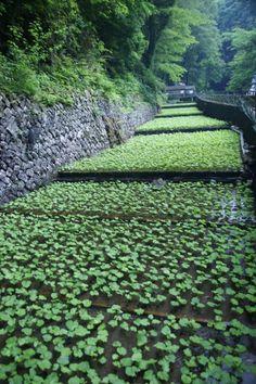Sawa Wasabi farmpaddies in Amagi, Japan