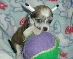 Chinese Crested Dog Pictures (puppies)