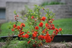 flowering bushes and shrubs zone 4 | ... garden. Hardy to zone 5, will grow 4-5 tall. http://emfl.us/LKFd