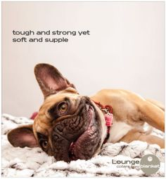 The Lounge Collar Unraveled | under the blanket #frenchies #frenchbulldog #dogs #IDtags