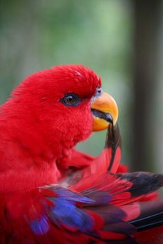 Red parrot picking  At a feather