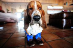 Basset hound in cowboy boots. Of course. #pioneerwoman