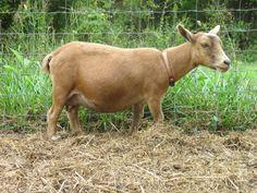 Miniature Goats as Pets | Pets & Wethers - Nigerian Dwarf Goats
