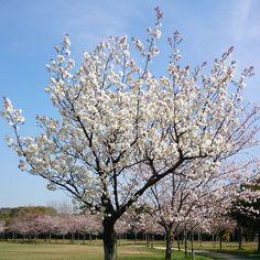 【boomerang_masa】さんのInstagramをピンしています。 《Full bloom of cherry tree ! I took this picture in spring of last year. 去年の春に撮影した満開の桜! いつもブーメランを投げている公園です。 #sakura #cherry #fullbloom #boomerang #throwing #field #park #outdoor #pink #flowers #flower #picture #pic #photo #art #桜 #満開 #ブーメラン #投げてる #公園 #フィールド #写真 #花 #春 #福岡県 #北九州市 #八幡西区 #インスタグラム #いいね #過去pic》