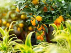 Citroník japonský (kumquat): ovoce s vysokým obsahem vitamínu C Fitness, Plants, Plant, Planets