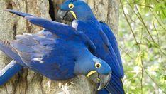 Ara-Ehepaar bei der Brut-Pflege, das Nest mit Jungen liegt tief in der Baumhöhle.