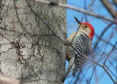Yesterday in a cold north wind, we happened upon this Red-Bellied Woodpecker near Whitby, Ontario.
