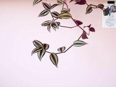 Misère Tradescantia Zebrina (14) Cactus, Houseplants, Interior Design Living Room, Planting Flowers, Tropical, Floral, Green, Cap Vert, Gardening