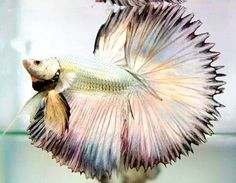 Types of Betta Fish - There are lots of different types of betta fish and this article covers them in detail including breeds, patterns, colors, tail differentiation and more. Betta Fish Types, Betta Fish Care, Colorful Fish, Tropical Fish, Aquarium Fish Tank, Fish Tanks, Fish Aquariums, Breeding Betta Fish, Betta Tank