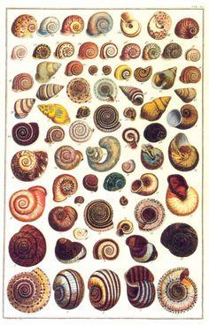 Albertus Seba . Sea Shells