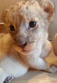Baby Lion #cute #animal