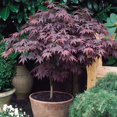 finally my back garden is starting to leaf up, here's an orange dream japanese maple starting to come into life.lovely plant for a back garden. For more on Acer Palmatum Orange Dream and other. Potted Trees, Trees And Shrubs, Trees To Plant, Trees In Pots, Fruit Trees, Garden Shrubs, Shade Garden, Garden Pots, Garden Shop