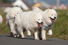 Samoyed dogs Stock Images