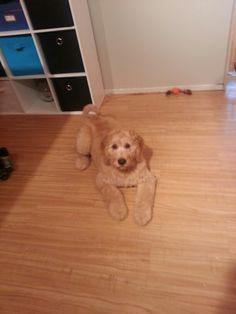 PJ doodle puppy