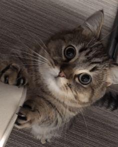 Cats and Kittens - Katzenrassen Beautiful Cats Cute Cats And Kittens, Baby Cats, Kittens Cutest, Fluffy Kittens, Pretty Cats, Beautiful Cats, Cute Baby Animals, Funny Animals, Funny Cats