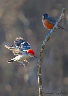_53F3149 Red-bellied Woodpecker by ~ Michaela Sagatova ~, via Flickr