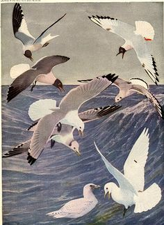 antique 1936 seagull birds color plate illustrated by Louis Agassiz Fuertes