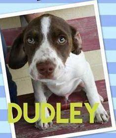 English Springer Spaniel dog for Adoption in Boston, MA. ADN-561861 on PuppyFinder.com Gender: Male. Age: Baby