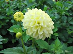 Quality dahlias grown in Washington State. We sell single dahlia tubers and dahlia bulbs that are true to name, guaranteed to grow and are free from viruses and diseases. Dahlia, Plants, Garden, Growing, Dahlias Garden, Flowers, Growing Dahlias