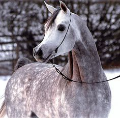 Dapple grey Arab