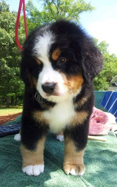 Beremese Mountain dog puppy.