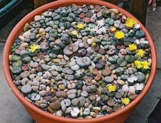 LITHOPS bowl containing all 35 species. It was made up specially for an exhibit in the NCCPG Heritage Marquee at the 2004 Hampton Court Flower Show.  A guess the number of plants competition to raise money for the NCCPG was organised. It was won by a lady in Kent with the correct number of 149  The Bowl has been awarded a Cultural Commendation by the R.H.S