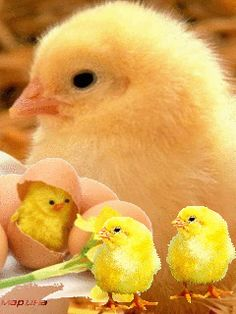 Cute Chicks easter chicks easter gifs