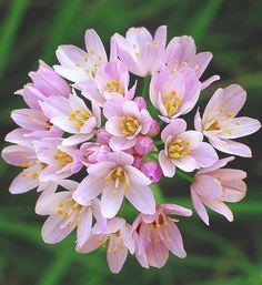 Allium Roseum (Großpackung)